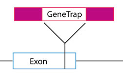 Determination of GeneTrap location and zygosity